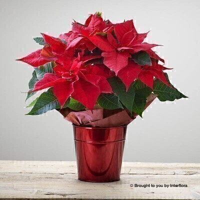 Crimson Poinsettia Christmas Plant: Booker Flowers and Gifts