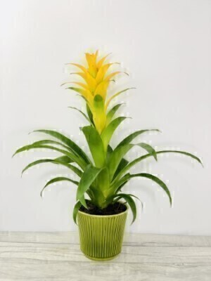 Gifts for Men | Indoor House Plant