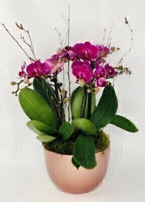Festive Twin Stem Phalaenopsis Orchid: Booker Flowers and Gifts
